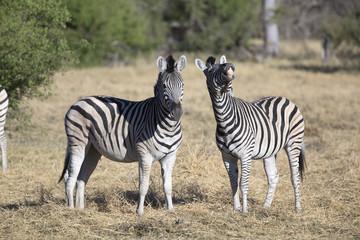 Portrait of wild zebras