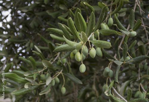 Tuinposter Olijfboom Olive verdi