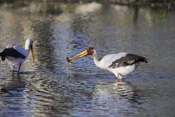 Fishing yellow-billed stork