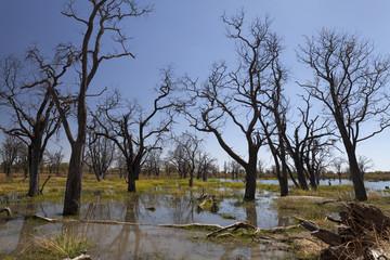 Dead trees in the Okavango delta Botswana