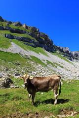 Kühe auf der Weise