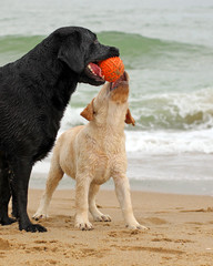 black and yellow labradors playing with a ball