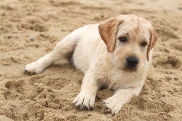 labrador puppy at the sea portrait in the sand