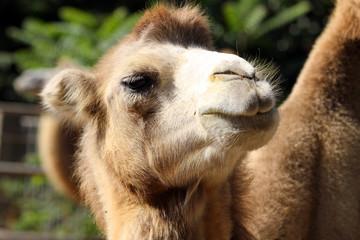 Portrait of a camel close up