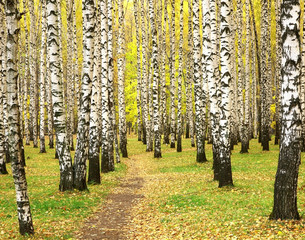 Autumn in birch grove