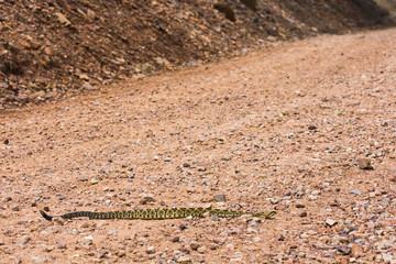 Rattlesnake on road