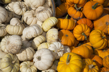 fall harverst of white and orange specialty pumpkins