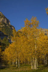 beautiful mountain meadow with autumn yellow quaking aspens