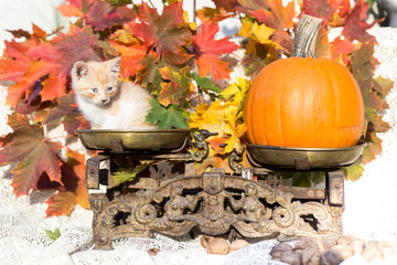 Cat sitting on antique scales, pumpkin is used as a weight