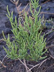pianta di Salicornia (Salicornia europaea)