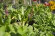 canvas print picture - Salat im Gemüsebeeet, Urban Gardening