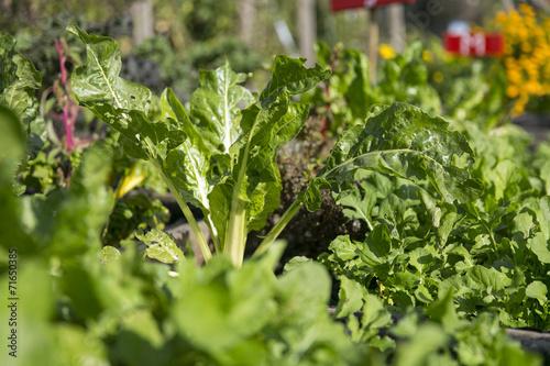 canvas print picture Salat im Gemüsebeeet, Urban Gardening