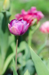 Blossom of the purple peony tulip in the spring