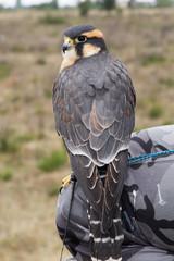 Halcón aplomado. Falco femoralis.