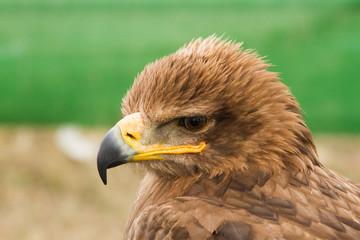 Cabeza de Águila.