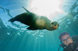 Scuba diver and Sea Lion Seal looking at you