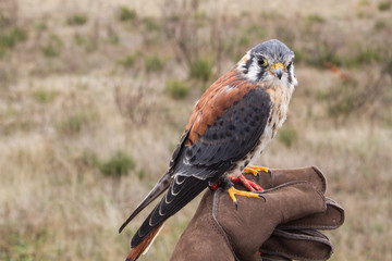 Cernícalo Americano. Falco sparverius.