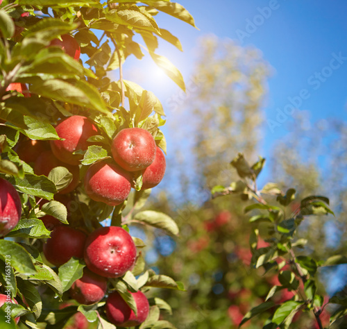 apples in the orchard - 71653573
