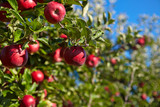 apples in the orchard