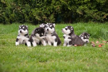 Husky Geschwister