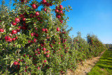 apples in the orchard - 71654177