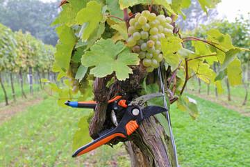 Wein - 004 - Lese - Schere