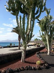 Riesen Kakteen an Promemade auf den Kanarischen Inseln