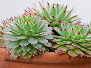 Sempervivum plants outgrowing their pot