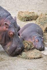 Mamma ippopotamo con cucciolo