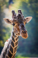 Giraffe. Portrait of a curious giraffe (Giraffa camelopardalis)