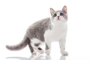 kitten on a white background. gray kitten