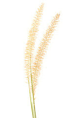flowering dog tail grass