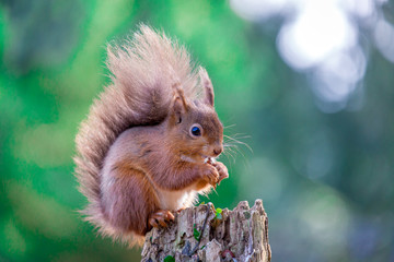 Red Squirrel in English forest