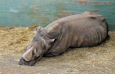 Vecchio rinoceronte bianco