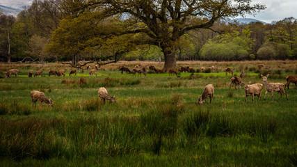 Deer herd in Killarney National Park,Kerry,Ireland