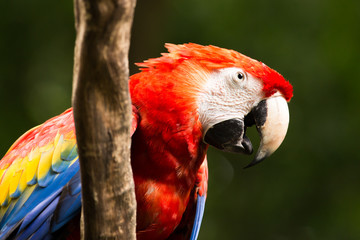 Portrait of ..Portrait of Scarlet Macaw parrot