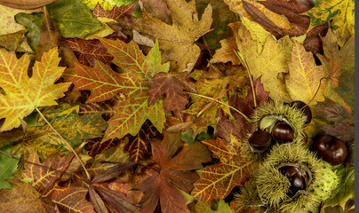 Colorful background with fallen autumn leaves and chestnuts1