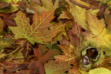 Colorful background with fallen autumn leaves and chestnuts