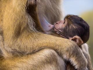 Affenbaby auf Gibraltar hat Hunger