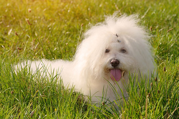 Bichon bolognese relax in green
