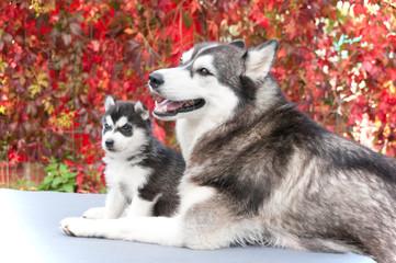 Husky Mama mit Puppy