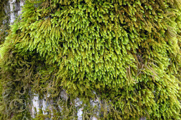 Mossy tree bark texture
