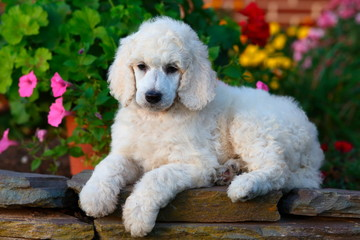 Standard Poodle puppy on stone garden wall