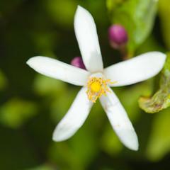 flowering lemon