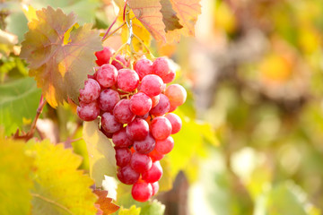 Bunches of ripe grape on plantation closeup