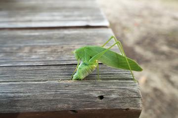 木製ベンチの隙間に産卵するキリギリスみたいな昆虫