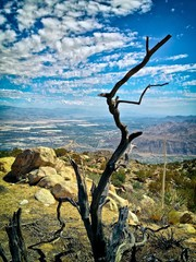 Bare Weathered Tree overlooking the city of Palm Springs, CA