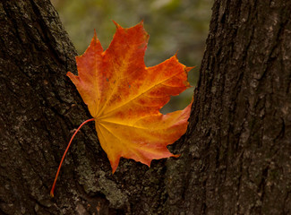 close up of maple tree leaf on trunk of tree