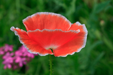 close up of pink poppy on meadow