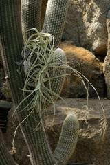 Espostoa lanata, Cactaceae, South America (Peru, Ecuador)